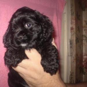 Продается щенок американского кокер спаниеля