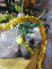 Продаются котята меконгского бобтейла