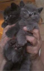 Продам британских котят. мальчики и девочки