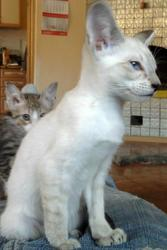 Продаются сиамские и ориетнальные котята.